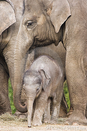 Free Asian Baby Elephant Royalty Free Stock Images - 8873989