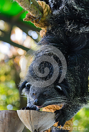 Asian Bearcat - Arctictis Binturong