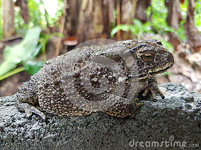 Asian big toad