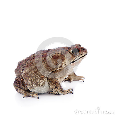 Free Asian Common Toad On White Background Stock Photo - 74392470