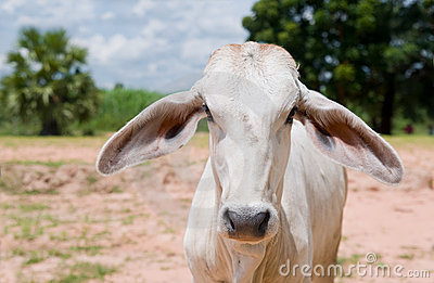 Asian cow staring at you.
