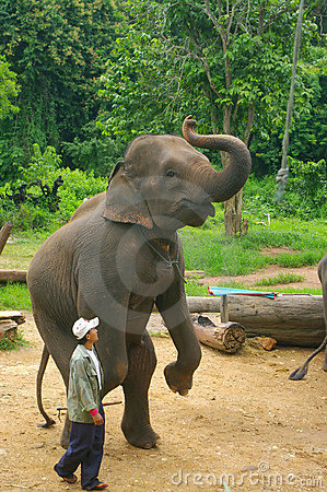 Asian Elephant Editorial Stock Photo