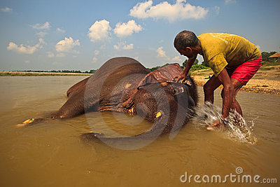 Asian Elephant Being Washed in River in Nepal Editorial Stock Image