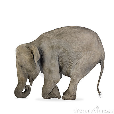 Free Asian Elephant - Elephas Maximus (40 Years) Royalty Free Stock Image - 3914746