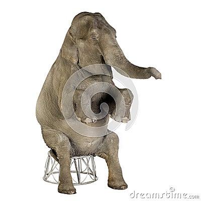 Free Asian Elephant - Elephas Maximus (40 Years) Stock Photos - 3914833