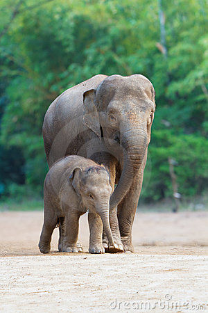 Free Asian Elephant Familys Walking 3 Royalty Free Stock Photos - 17290238