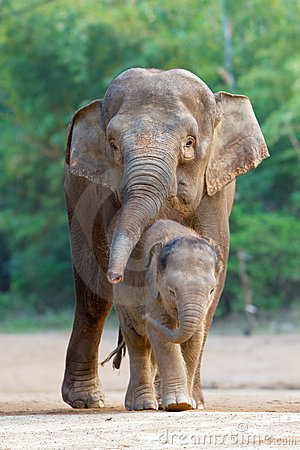 Free Asian Elephant Familys Walking 4 Royalty Free Stock Photography - 17291857