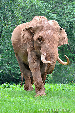 An asian elephant is walking