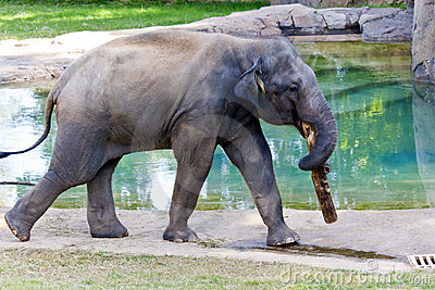 Asian Elephant in Zoo