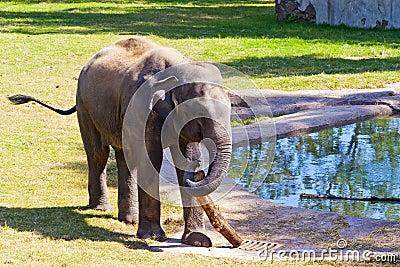 Asian Elephant in Zoo
