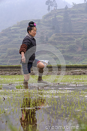 Asian farmer girl walks barefoot through mud of paddy fields. Editorial Stock Photo