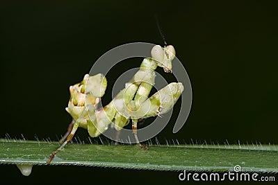 An asian flower mantis