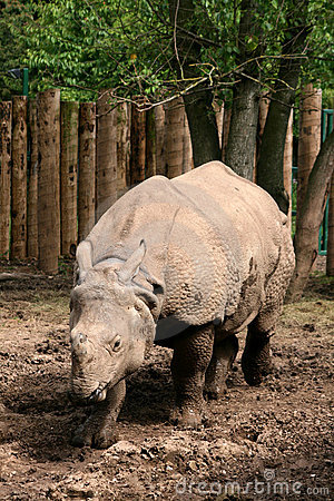 Free Asian Great One-horned Rhinoceros Royalty Free Stock Images - 7865549