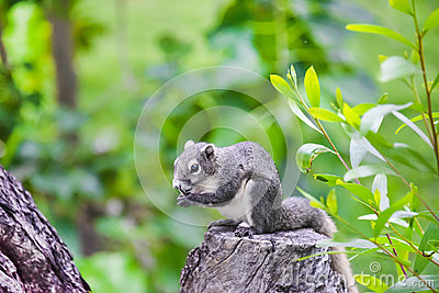 Asian grey squirrel eating a nut on the top of tree trunk in the