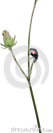 Asian lady beetle, or Japanese ladybug