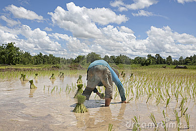 Asian man works on the rice field