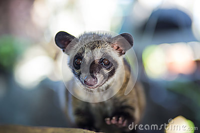 Asian Palm Civet  produces Kopi luwak.
