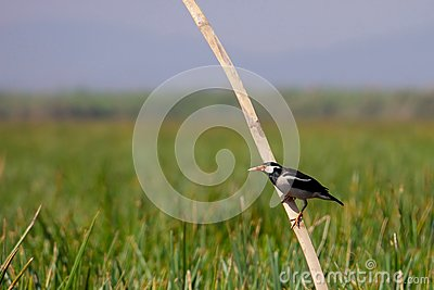 Asian pied starling (Sturnus contra)