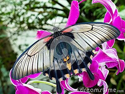 Asian Swallowtail tropic butterfly sucking nectar
