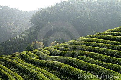 Asian Tea plantation