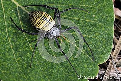 Asian Tiger spider