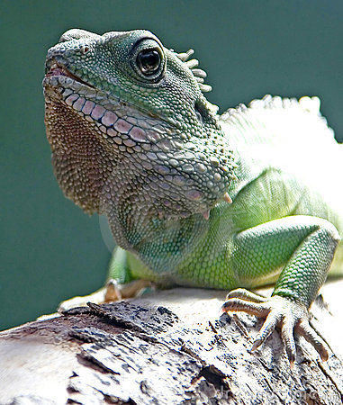 Asian water dragon 4