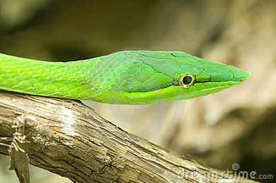 Asian whip snake, Oriental whip snake, Long-nosed Vine Snake, Gr