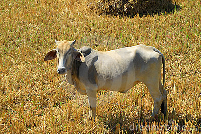 Asian white cow in farmland