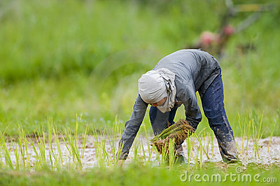 Asian woman growing rice