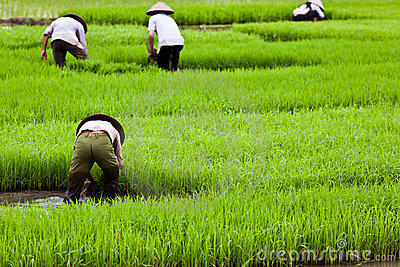 rice paddies and math tests essay Marketing strategy marketing strategy 8 hours bowling grn zip 10281 treng technology and consulting report student essay  rice paddies and math tests essay,.