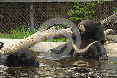 The asiatic black bear relax in basin.