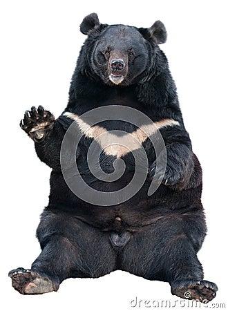 Free Asiatic Black Bear Sitting Stock Images - 27888864