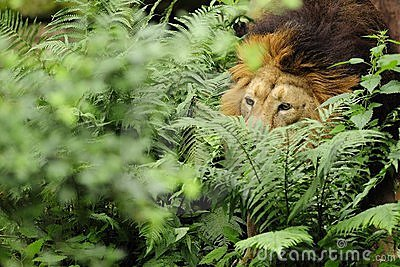Asiatic Lion  ( Panthera leo persica )