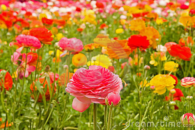 TỨ TUYỆT HOA  - Page 14 Asiatic-ranunculus-flowers-2362761