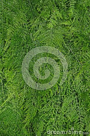 Asparagus fern background