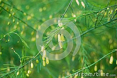 Asparagus flowers