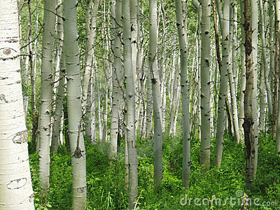 Aspen forest in Colorado