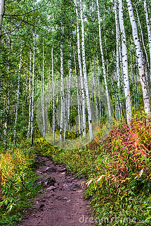 Aspen Grove with Colorful Underbrush
