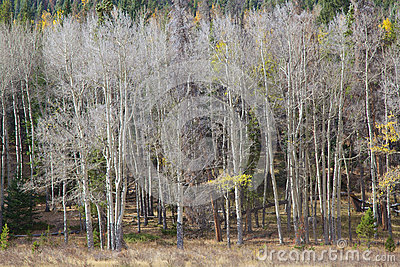 Aspen Grove in Late Fall
