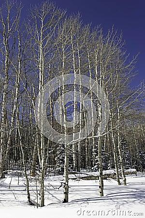 Aspen grove in winter.