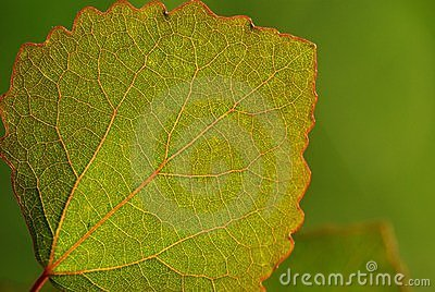 Aspen leaf-green background