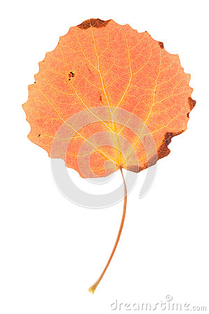 Aspen leaf isolated
