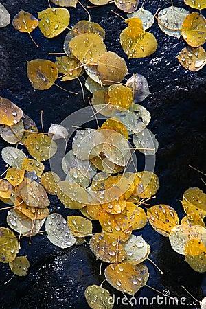 Aspen leaves on black rock