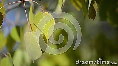 Aspen Leaves Blowing in de Wind stock video