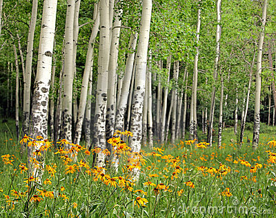 Aspen Meadow and Wildflowers