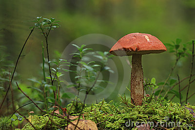 Orange-cap boletus.