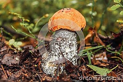 Aspen mushroom