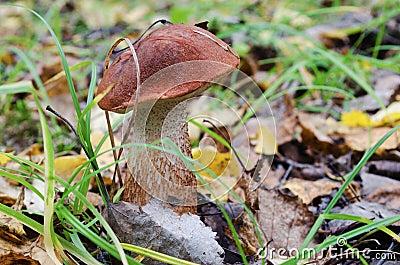 Aspen mushroom in wood
