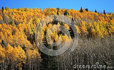 Aspen, Pine and Fir