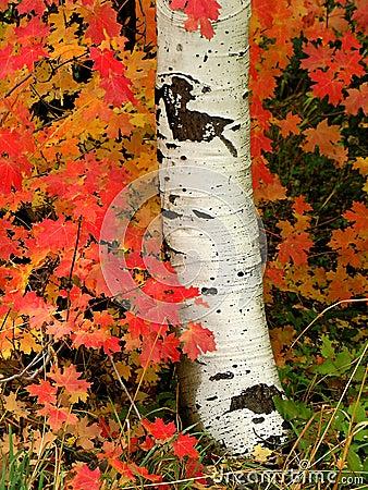 Aspen Tree